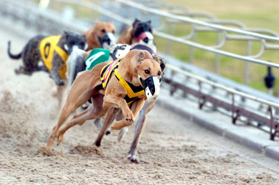 Greyhound Betting Explained By Experts